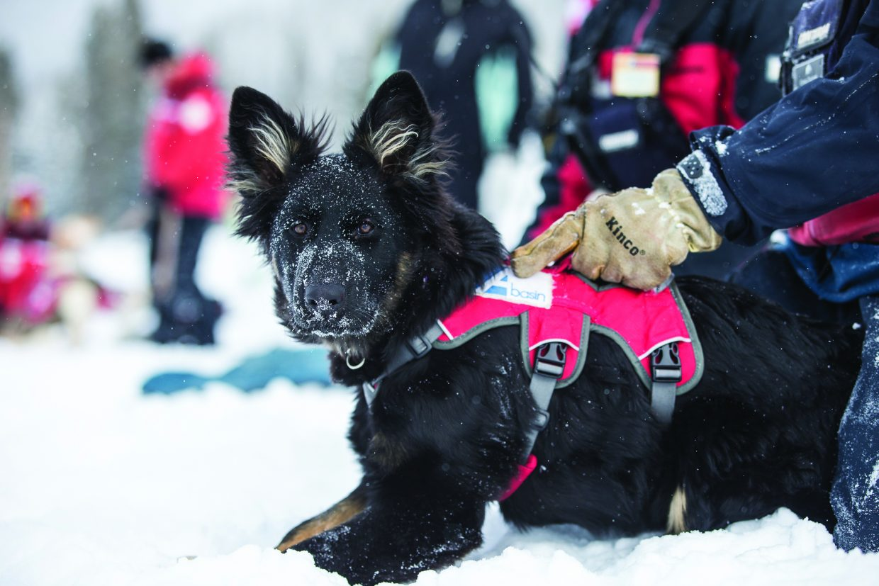 Sasha is one of Arapahoe Basin's faithful avalanche rescue dogs.