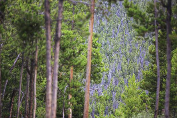 Mountain Pine Beetle infested forests Friday, July 14, near Frisco.