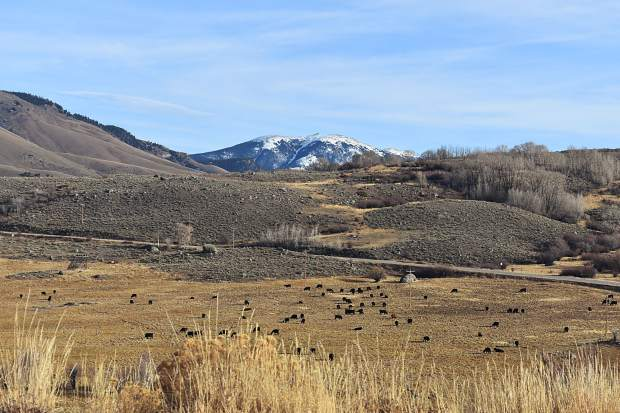 Cattle graze on a ranch in Heeney, a portion of the Williams Fork Mountains in view in the distance.