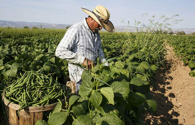 Farmer Ramon Morales harvests the green beans Friday, Sept. 8, near Grand Junction.