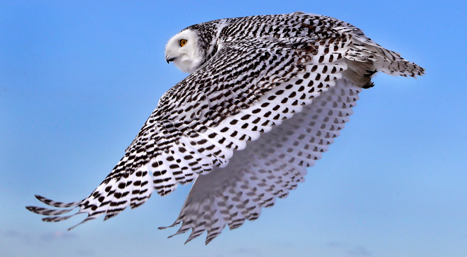 rare snowy owls spotted in colorado are drawing crowds beyond the