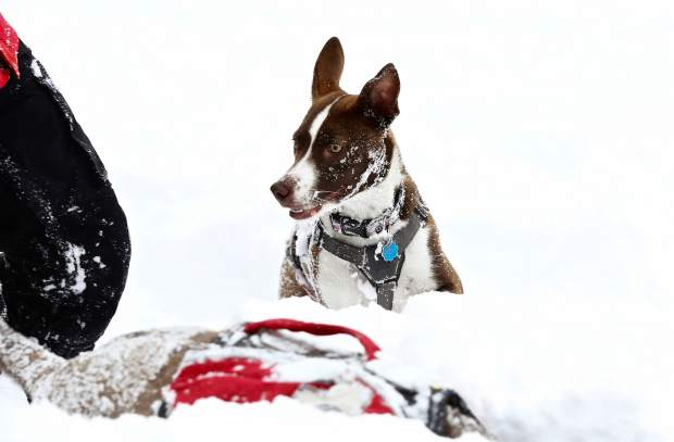 The Beaver Creek Ski Patrol avalanche dogs are certified through Colorado Rapid Avalanche Deployment and train daily.