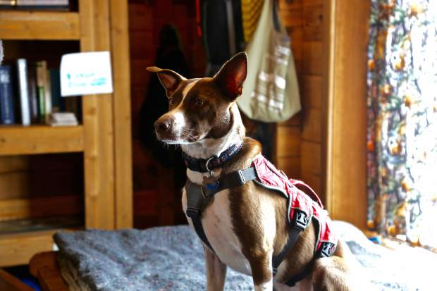 To travel around the mountain, Beaver Creek Ski Patrol dogs ride chairlifts, snowmobiles and their humans' shoulders.
