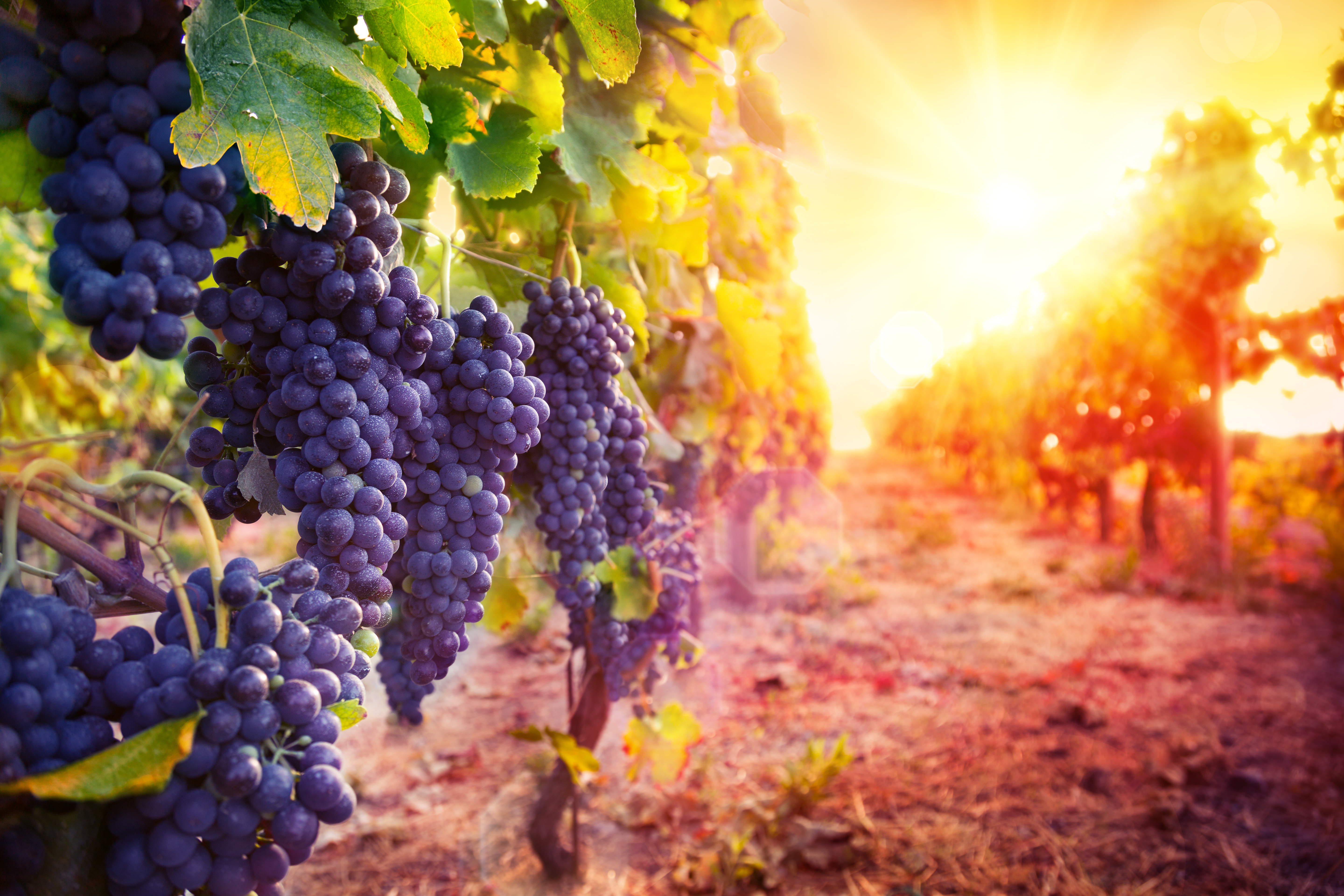 For healthy wine consumption, look to the grape