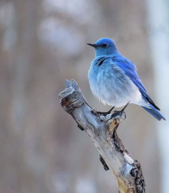 A Colorado bluebird males reflect UV light, which makes the feathers brighter and more colorful.