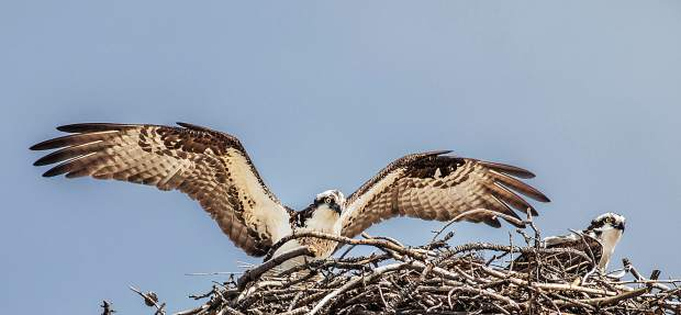 Silverthorne's annual summer resident Osprey couple returns. A sign of Spring.