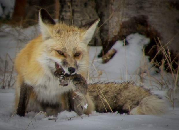 Red fox in Eagle Nest nieghborhood.