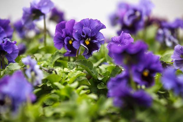 Pansy flowers blooming at Alpine Earth Center Monday, April 16, in Silverthorne.