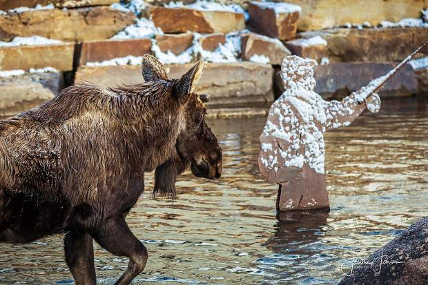 A moose walks in the Blue RIver in downtown Breckenridge Friday morning.