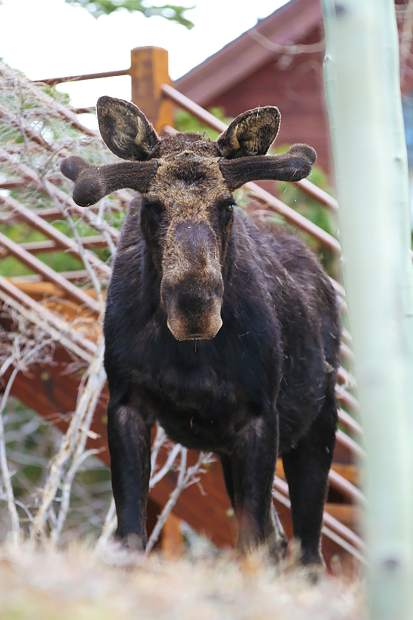 A moose poses for the camera.