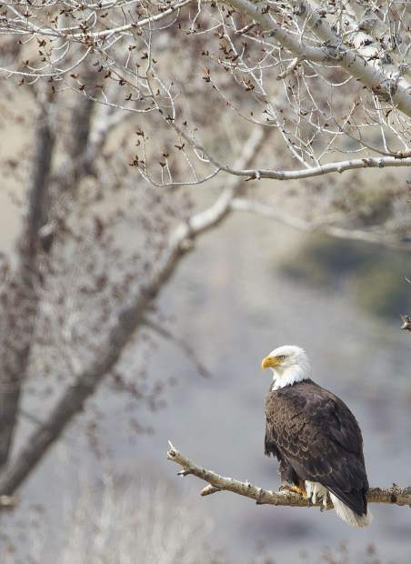 A bald eagle at Green Mountain Reservoir.