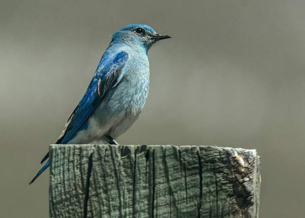This Mountain Bluebird at the Wildlife Viewing area north of Silverthorne.