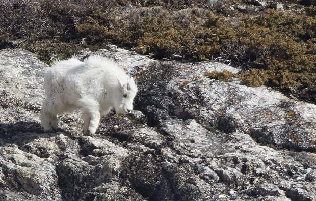 A juvenile mountain goat at Blue Lakes makes a leap.