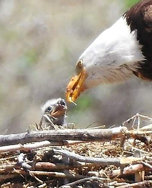 Bald eagle and eaglet off highway 9 just before Silverthorne coming from Kremmling.