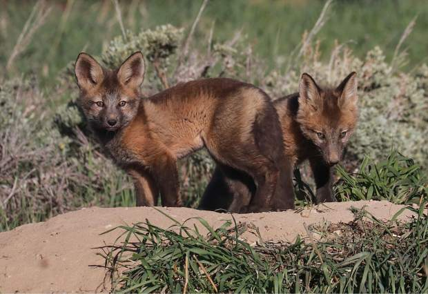Two young fox kits taking it all on Thursday in Silverthorne.