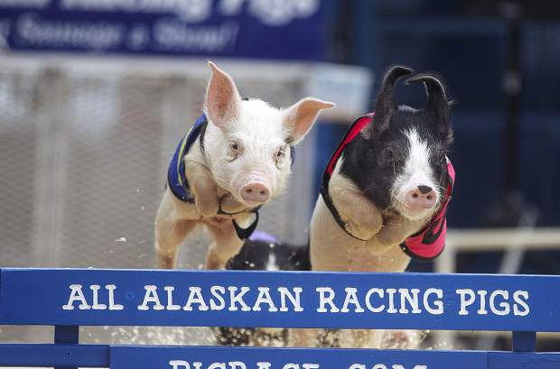 Young pigs participate in the racing event during the Frisco BBQ Friday, June 15, in Frisco.