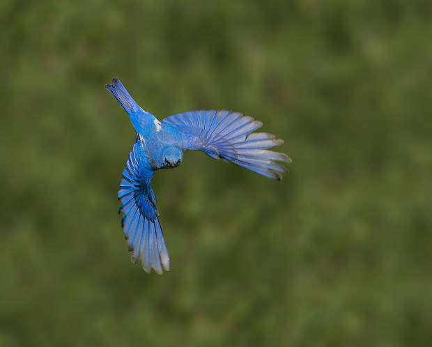 The mountain bluebirds are in abundance now in Summit County. This male mountain bluebird flies away in search for worms, grasshoppers and other tasty treats for the chicks in its nest.