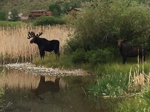 Moose at Silverthorne ponds.
