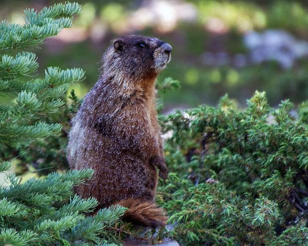Marmot near Blue Lakes near the top of Hoosier Pass.