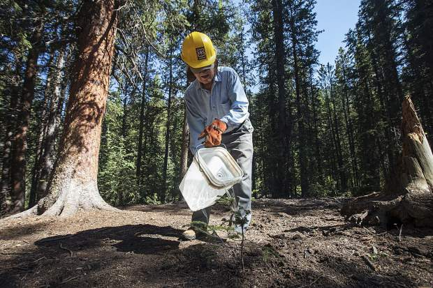 Volunteer Silverthorne resident Don Langmuir gives water on a newly transported tree during a a restoration program led by Friends of the Dillon Ranger District Friday, July 6, along Peru Creek near Montezuma.