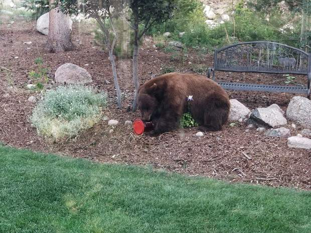A black bear tears down and licks a humming bird feeder at the photographer's home on Peregrine Lane in Silverthorne.