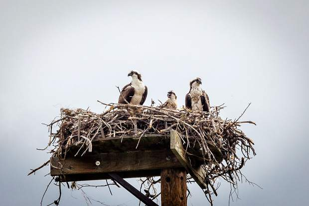 Fledging Osprey making an appearance at the Frisco Marina.