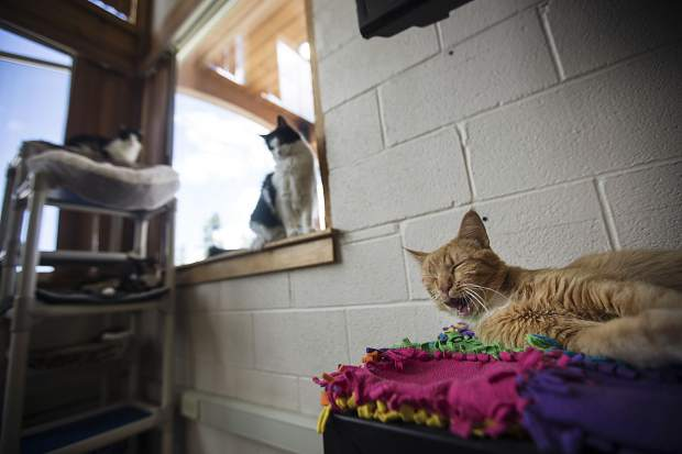 Noodles, right, yawns at the Summit County Animal Control and Shelter with Arlo and Aries in the background Friday, July 13, in Frisco. Five cats were transferred to the shelter in Frisco from Glenwood Springs due to wildfires.