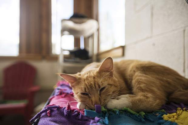 Noodles takes a nap at the Summit County Animal Control and Shelter Friday, July 13, in Frisco. Five cats were transferred to the shelter in Frisco from Glenwood Springs due to wildfires.
