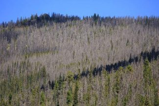 Study: Beetle outbreak improves community support for forest management