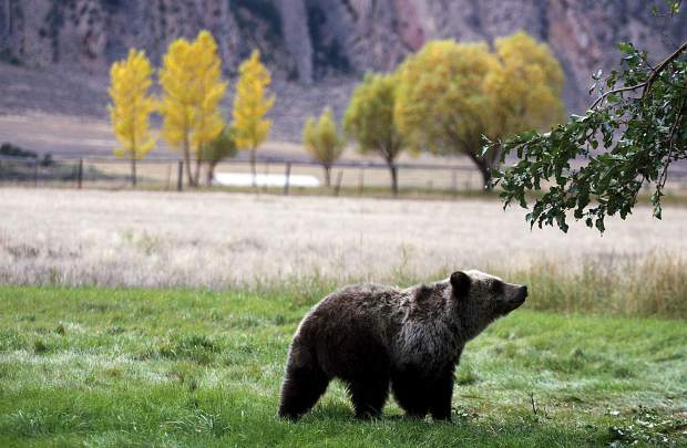 In this September 2013 file photo, a grizzly bear cub searches for fallen fruit beneath an apple tree a few miles from the north entrance to Yellowstone National Park in Gardiner, Mont. A judge on Friday ruled for a temporary 14-day ban for the first grizzly bear-hunting season in more than a quarter century in the lower 48 states, which was initially scheduled to open this weekend.
