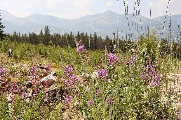 Fireweed in meadow along Barney Ford Trail in Breckenridge.