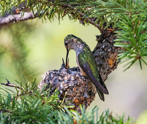 A broadtail hummingbird feeds its chick. When the chicks mature enough, they fly south to Mexico and Central America during the migration season.