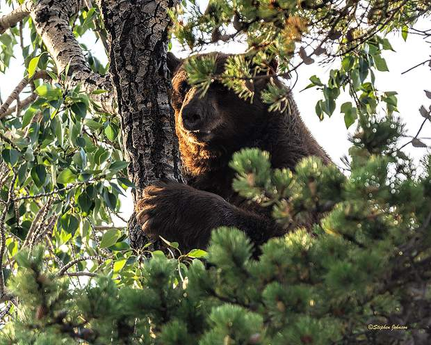 A black bear clings onto a tree on Monday in Breckenridge.