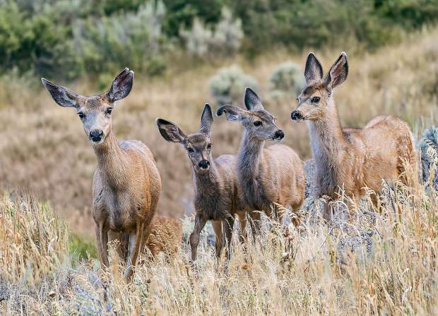 A family of mule deer scout the photographer's backyard in search of vegetation to eat in Silverthorne.