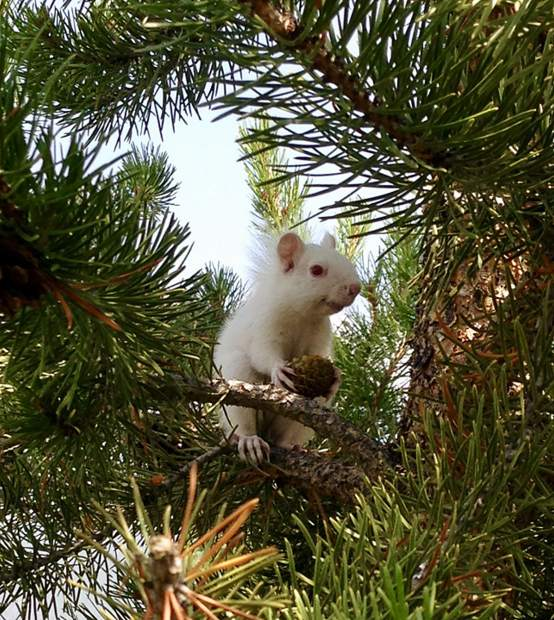 An albino squirrel at the Keystone Ranch golf course.