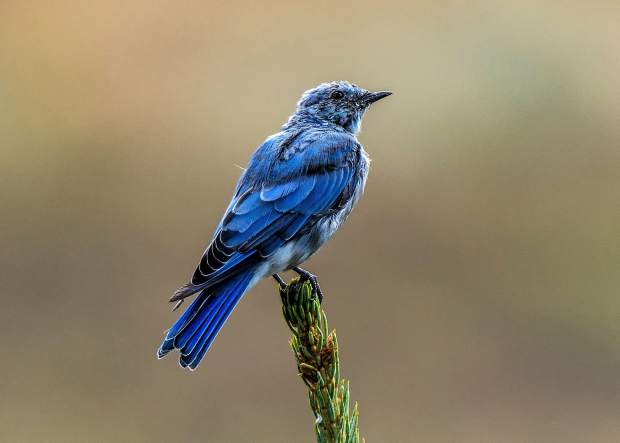 A male Mountain Bluebird in Summit Cove.