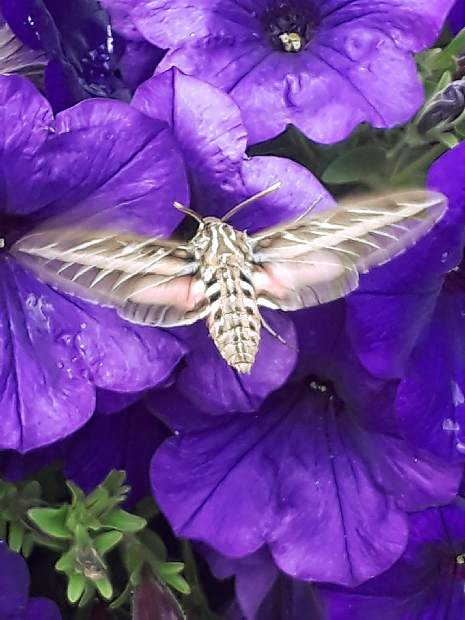 A hummingbird moth by the amphitheater in downtown Breckenridge.