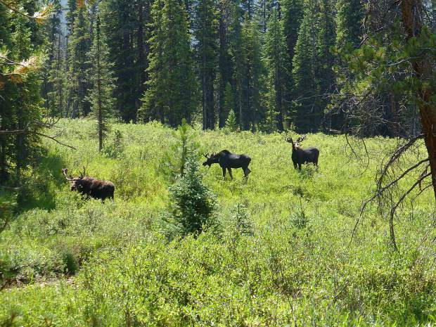 Moose at Rock Creek along the trail to the kettle ponds.