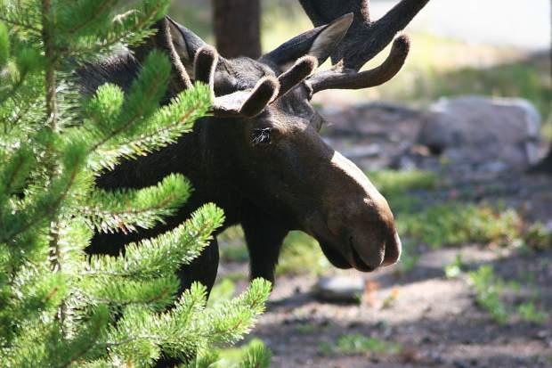 Moose in the Highlands neighborhood in Breckenridge.