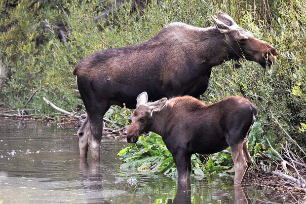 Young moose with the mother.