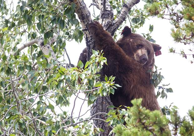 Breckenridge residents urged to steer clear of the black bear who forgot to hibernate