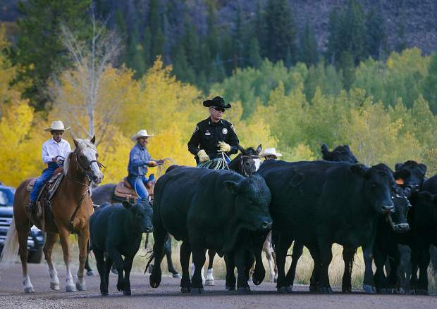 Sheriff Jaime FitzSimons assist the other cowboys with the cattle drive between two ranches on Highway 9 Tuesday, Sept. 11, north of Silverthorne.