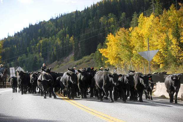 Cows move along Highway 9 Tuesday, Sept. 11, north of Silverthorne.