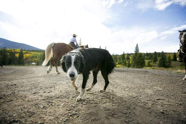 A border collie catches breath following the cattle drive between the two ranches on Highway 9 Tuesday, Sept. 11, north of Silverthorne.