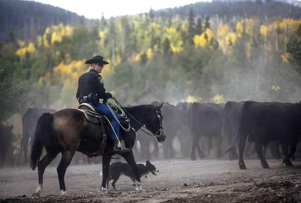 Summit County Sheriff Jaime FitzSimons assists other cowboys with the cattle drive between two ranches on Highway 9, Tuesday, north of Silverthorne.