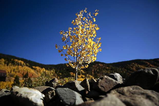 A lone tree in the mining ruins of French Gulch Saturday, Sept. 15, in Breckenridge.