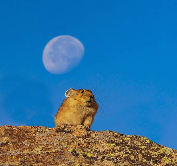 An American Pika sits on a rock outcropping under a setting moon at Loveland Pass.