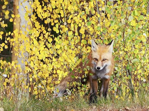 Fox and fall colors.
