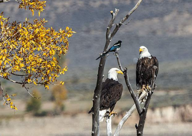 A magpie harassing two bald eagles in Summit County.