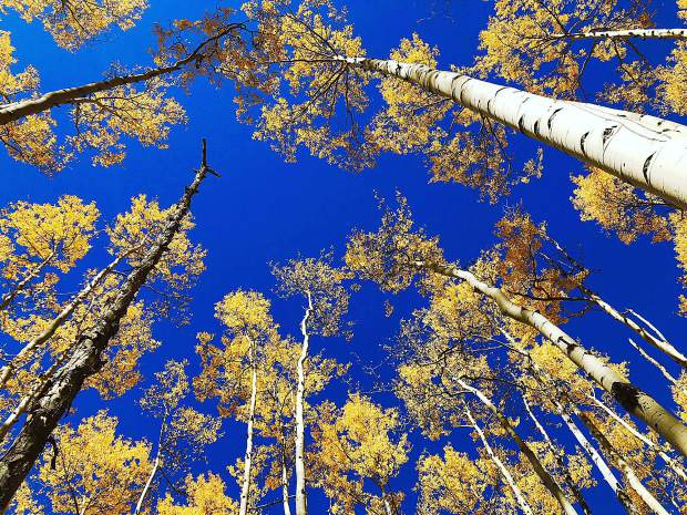 Aspens in Breckenridge.